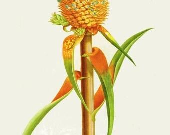 antique french botanical print pineapple illustration digital download