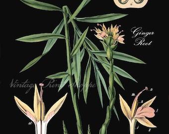 Ginger Root Botanical print Vintage Scientific Illustration reproduction 5x7 art Naturalist decor Home Decor cottage decor 8x10 plant print