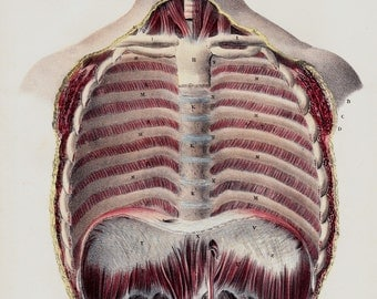 Antique print, 1844 old ANATOMY print by Lemercier, lithograph of a abdominal cavity, internal diaphragm, ribs and abdomen