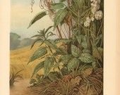 1913 Parasitic Plants, Cuscuta, Dodder, Devil's Guts, Goldthread or Hellbind Antique Chromolithograph