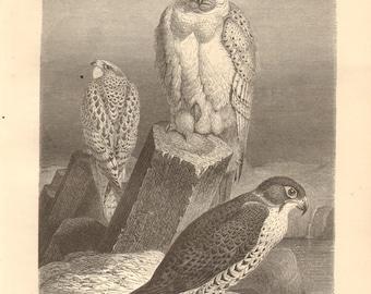 1878 Gyrfalcon - Falco rusticolus Original Antique Engraving