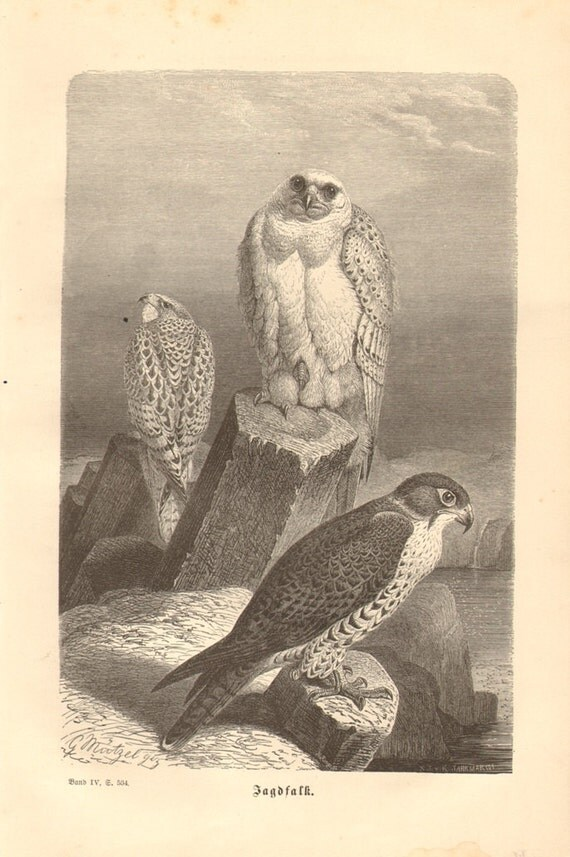 1878 Gyrfalcon - Falco rusticolus Original Antique Engraving