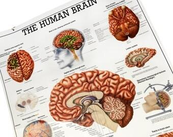 "medical art, Medical chart, 39.5"", medical anatomy, brain, skeleton, Rudiger, Berlin, wall hanging, science chart, medical wall chart,"