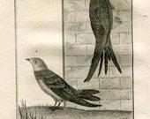 1803 Buffon Birds Print Sand Martin and Common Swift, Rare Original Antique Engraving Ornithology