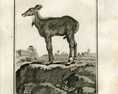 1811 Animal Print Female Picta Antelope Le Nil-Gaut Original Antique Copper Engraving from Buffon Natural History