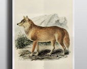 Antique Wolf Print Art Prints Poster 1800s Wolf Art Wolf Painting Drawing Wall Art Wall Decor Rustic Decor Animal Illustration