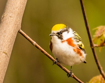 Chestnut Sided Warbler - Nature Photography - Bird Photography - Wildlife Photography -