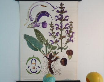 meadow sage: Botanical antique chart, Vintage pull down chart from Austria