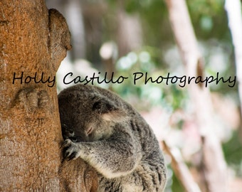 Sleeping Koala Fine Art Photograph Multiple Sizes Comes With or Without Mat