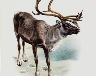 1961 Reindeer, original vintage print, deer of the tundra