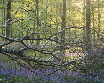 Dawn in a bluebell wood, Lake District, UK