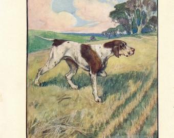 1906 English Pointer Dog Antique Print