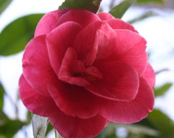 Pink Camilla