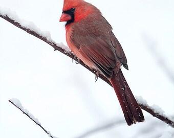 Cardinal Photograph, Bird Photography, Male Northern Cardinal, Animal, Nursery Decor, Nature Photo, Red Bird, Winter - Cardinal in the Snow