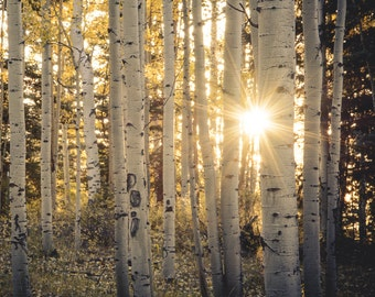 Aspen Trees Aspens Colorado Sunstar Golden Fall Evening Autumn Forest Leaves October Yellow Rustic Cabin Lodge Photograph