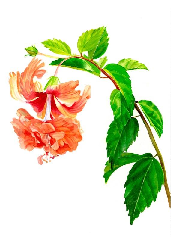 Orange Hibiscus Watercolor Hibiscus El Capitolio Sport