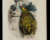 Antique print, 1850 Lovely  PEACOCK engraving, hand colored, original antique