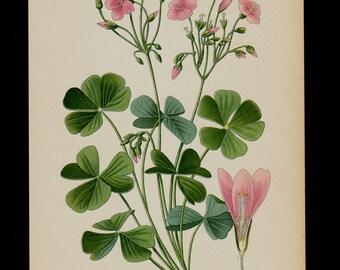 1896 Antique print, BOTANICAL print, lovely chromolithograph of a pink wood sorrels flower