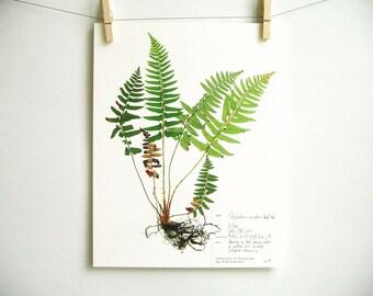 Western Sword Fern Print, #41, pressed fern botanical print, herbarium specimen art, scientific art, dried plant with roots art
