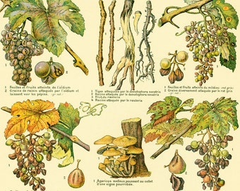 1922 Antique Grapes Print, Grapes diseases, Vintage vine illustration, Larousse French Vintage