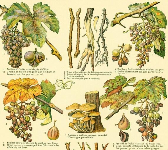 1922 maladies cryptogamiques de la vigne illustration for Cep de vigne decoration