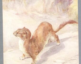 Weasel Illustration By Barbara Briggs