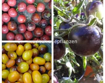 INDIGO Tomato SET, Indigo Rose, Cherry Drops, Kumquat, 60 seeds