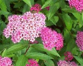 Japanese Spiraea Shrub Seeds, Perennial Plant, Flowering Shrub