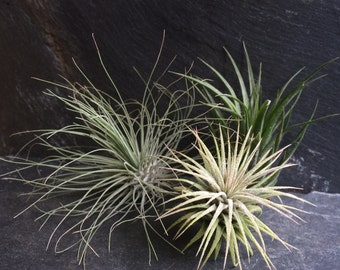 set of Three Air Plants, Tillandsia collection