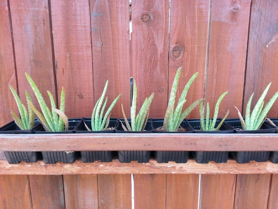 aloe vera starter plant 2 for 1 sale buy one and get by azseeds. Black Bedroom Furniture Sets. Home Design Ideas