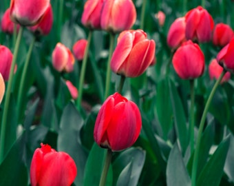 Spring's Red Tulips