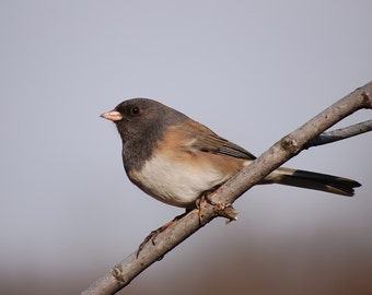 Dark eyed junco, snow bird, birds, photo, print, photography, nature, wall art, home decor