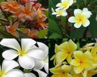 Plumeria - Frangipani - Mixed Seeds - 5 seeds