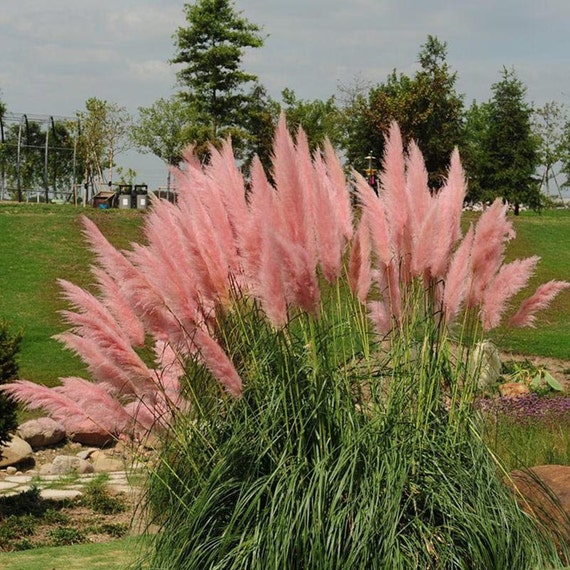 Items similar to pink pampas ornamental grass easy seed for Ornamental grass with pink flowers
