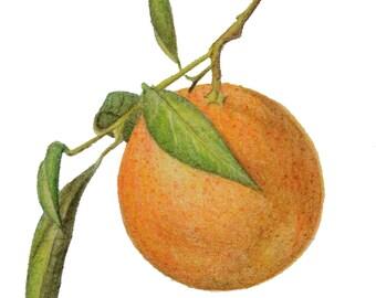 Mandarin orange, original botanical drawing