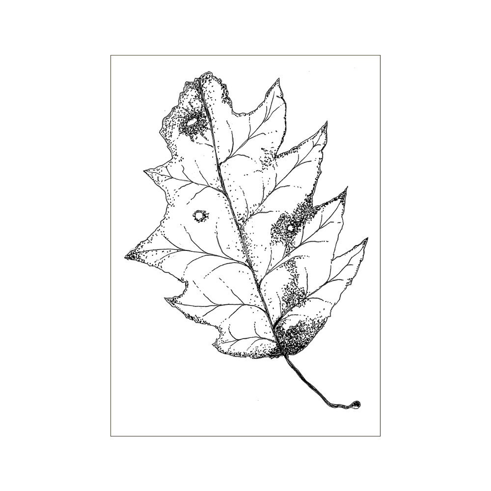 Original Pen And Ink Leaf Illustration Print Signed By Huwdles