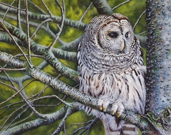 Barred Owl I - Giclee PRINT of Watercolor painting