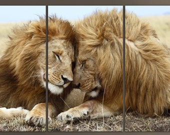 """3 Panel canvas Photo print of two lions. In the wiled  Stretched print on 1.5"""" deep frames.Great for home, office decor & interior"""