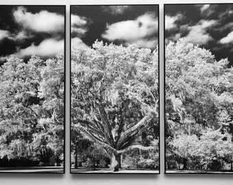 "Live Oak Tree Mounted on Three Wood Panels for a Black and White Triptych for Wall Art 38"" wide x 23"" high."