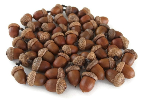 Large real acorns natural acorns thanksgiving by myfamilysnutz - Acorn and chestnut crafts ...