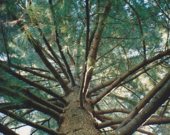 Up the Pine Tree