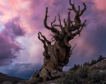 Gnarly Mammatus Madness - Landscape photo taken during sunset at the Ancient Bristlecone Pine Forest