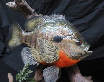 Taxidermy Bluegill, Reproduction Giant Throphy Over 13 Inches Long, Award Winner