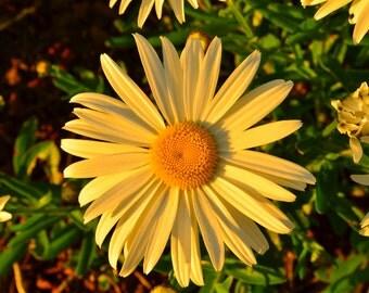 Vibrant Daisy