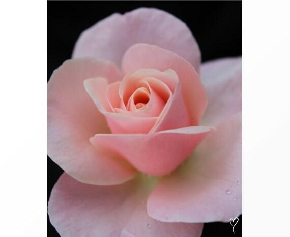 "Wall Decor Tea Cup Rose Wall Art Print, Home Decor, Flower Wall Art, Pink Wall Decor ""Petite Fleur"""