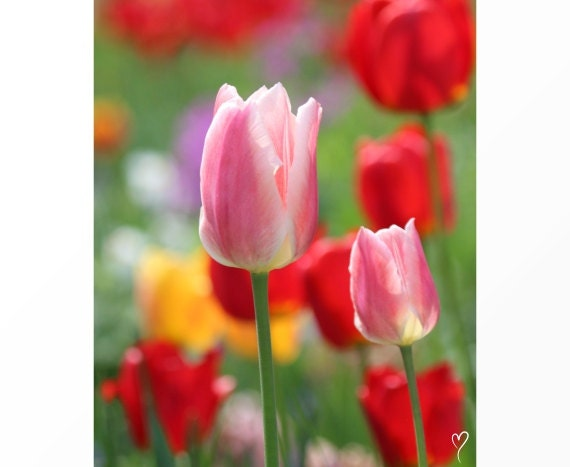 Red Art Print, Red Tulips, Pink Tulips, Flower Fine Art Print, Home Decor, Mothers Day Tulips
