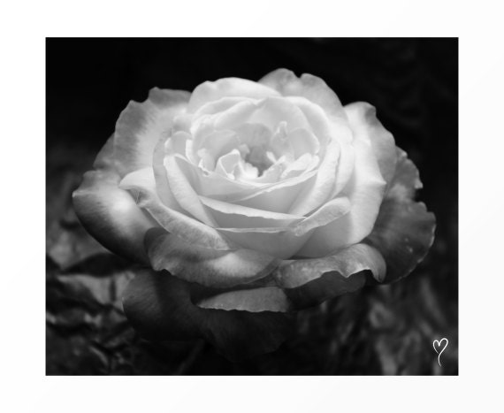 "Black and White Wall Art, Black and White Home Decor, Flower Wall Art, Flower Decor, Photography, ""Petals In the Spotlight"""