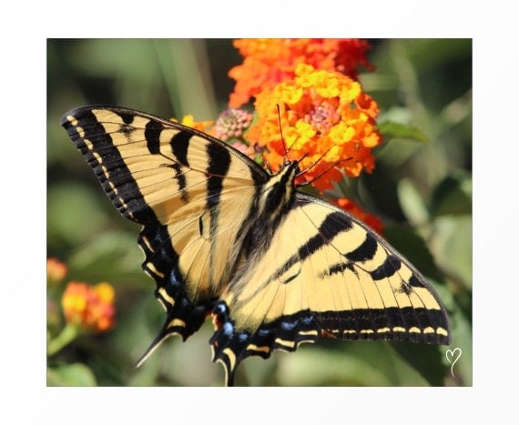 """Yellow Butterfly Art Print, Butterfly Picture, Butterfly Wall art """"Tiger the Swallowtail Butterfly"""""""
