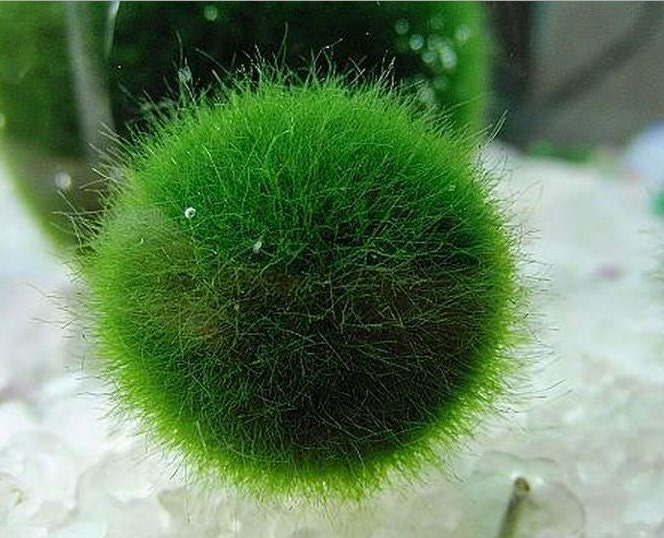 Japanese live marimo moss ball aquatic plant grow marimo for Japanese pond plants