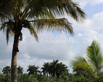 South Florida Sky- nature photography, trees, palm tree, outdoor, plants, sky